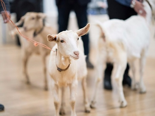 Goats#4
